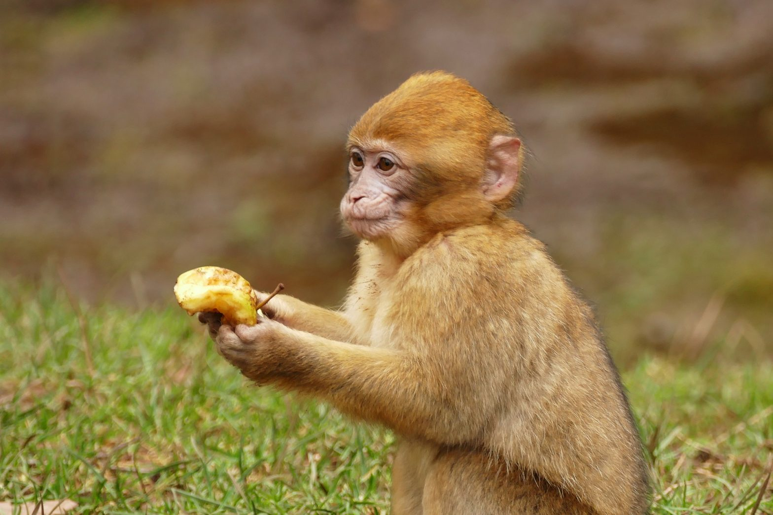 This macaque brought you a gift-