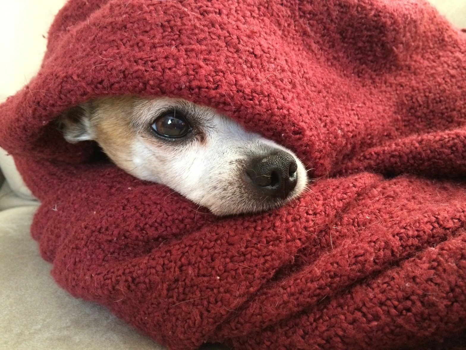 Chihuahua wrapped in a blanket